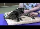 Пункция бедренной вены у кошки / Restraint and femoral venipuncture on Cat