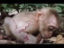 Poor baby monkey Solita cry because hit by big monkey, I'm a new member they hate me, Mr Monk 699