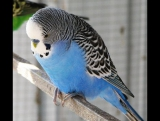 Мой попугай психует больше чем я
