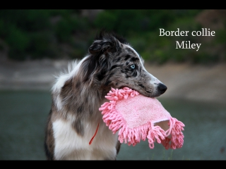 Border collie Miley - 9  dog tricks!!!