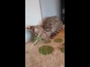 Девочка сервала продается, маленький сервал смешные кошки ржака