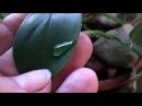 Растение плакса и группа любителей комнатных растений!