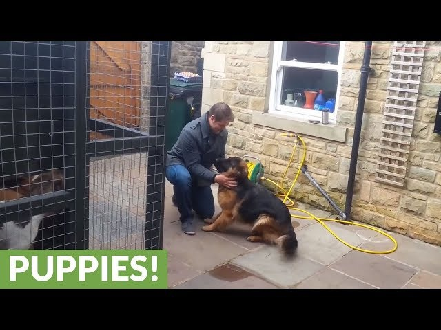 German Shepherd Cries Out In Happiness After Months Apart From Owner