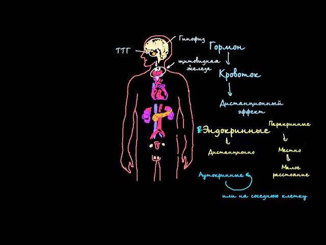Введение в эндокринную систему