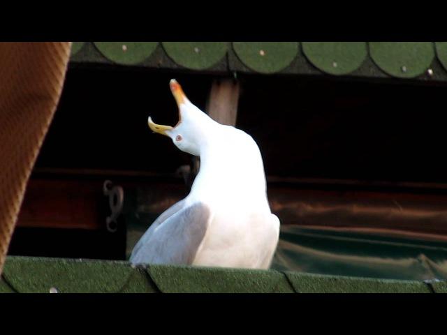 Артистичный смех чайки