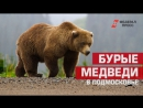 Очевидец запечатлел на видео медведицу и медвежат в Подмосковье