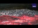 Кадры утилизации 25 тонн красной икры