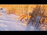 Хитрый лис знает где и как ловить рыбу)