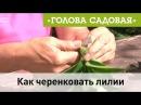 Голова садовая - Как черенковать лилии