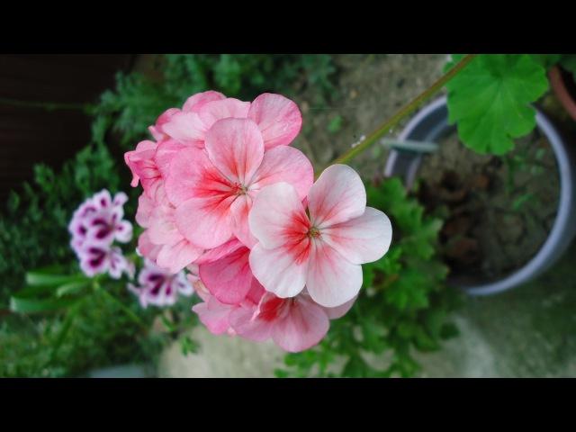 Формировка пеларгонии герани для обильного цветения Шаг первый