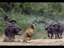 Животный мир. Законы Африки. Чёрная смерть. Невидимая агрессия. Мощь носорога