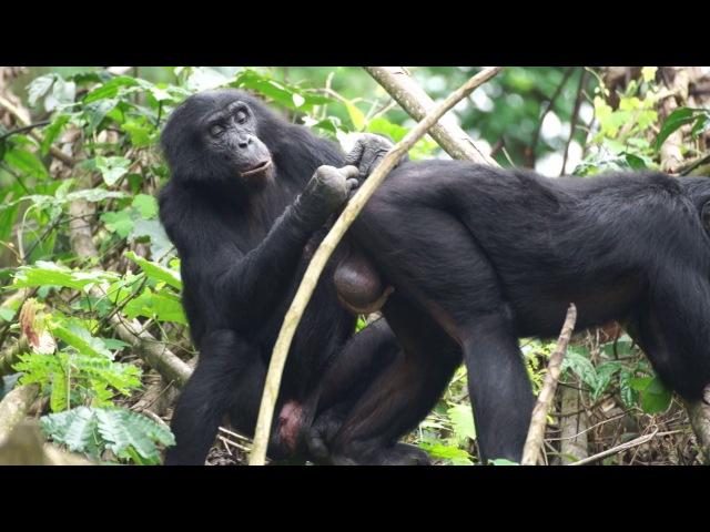 Груминг двух самцов бонобо — Тена (Ten, 45 лет) и Жеди (Jeudi, 21 год)