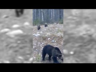 Встретили медвежью семью. Северодвинск