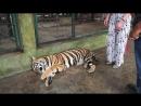 В клетке с тигром