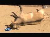 Порода коз, которые при испуге притворяются мёртвыми