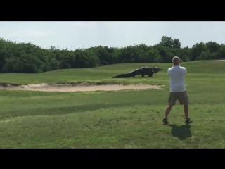 Аллигатор гуляет