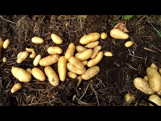 Récolte de pomme de terre sur gazon