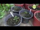 Представяне на моите цветя, моята градина в началото на август 3 от 3