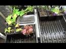 Представяне на моите цветя, моята градина в началото на август 1 от 3