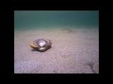 Как зарываются в песок ракушки