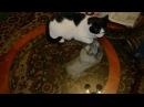 Разборка. Коты выясняют отношения. \ Showdown. Cats find out the relationship.