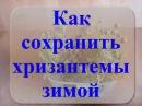 Осень сохраняем хризантемы черенкуем размножаем Xrizantemmanin to save hrizantemy