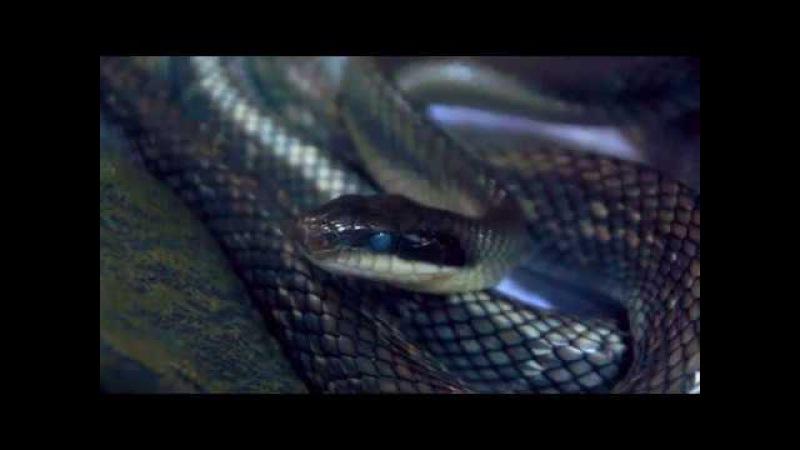 Змея в линьке / Elaphe (orthriophis) taeniura callicyanous blue beauty in blue (shedding)