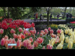 Amazing drone video shows dutch tulips blooming