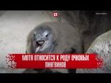 Пингвиненок родился в красноярском зоопарке
