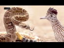 Пернатый матадор или убийца гремучников Калифорнийская земляная кукушка
