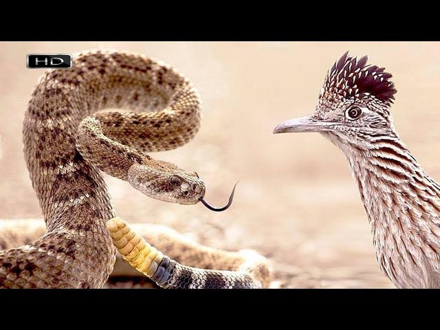 Пернатый матадор или убийца гремучников - Калифорнийская земляная кукушка