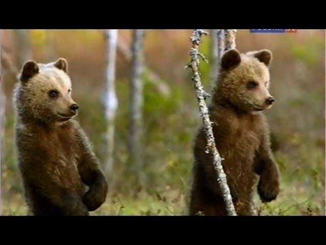 Приключения медвежьей семьи в лесах Скандинавии