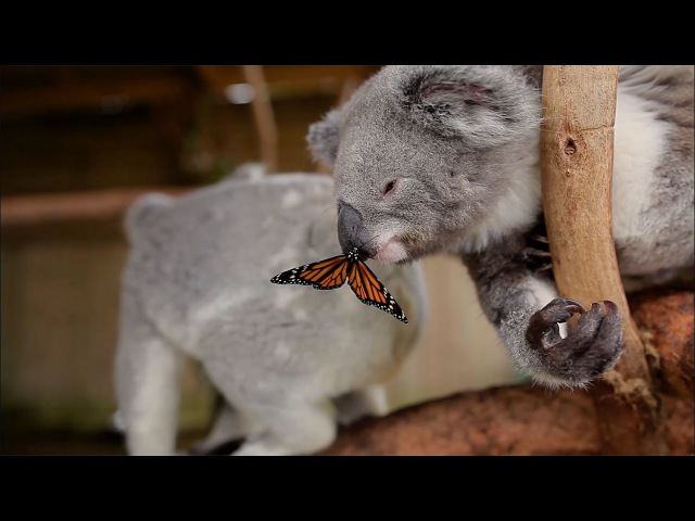 Butterfly takes over Koala Joey's Photoshoot and owns it like a BOSS!