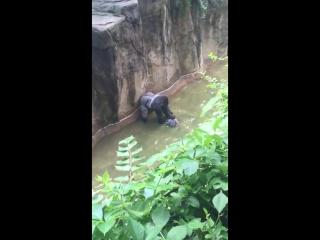 Ребёнок упал в вольер к горилле