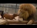 Дружелюбные сосиски и Лев