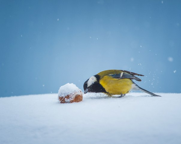 С наступлением холодов жизненный цикл птиц характеризуется выраженными