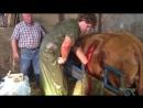 Кесарево сечение коровы