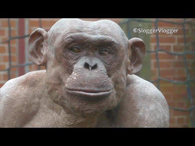 Hairless Chimpanzee Enjoying His Food