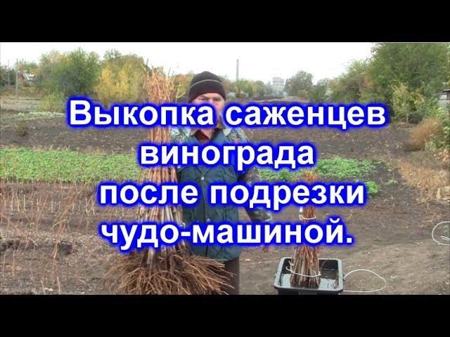 Выкопка саженцев винограда 2017.