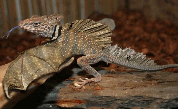 агамова ящерица или дракон летучий