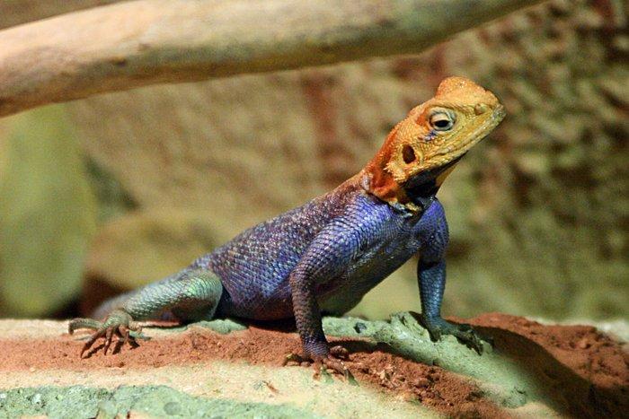 ящерица агама