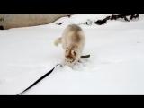 Сибирский Хаски Ясон, охотник на мышек )