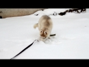 Сибирский Хаски Ясон, охотник на мышек