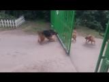 Собаки и открывающиеся ворота