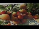 Продолжаем хит -парад лучших сортов плодовых деревьев