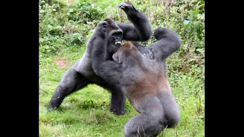 Top 5 Gorilla Fights On Camera | Zoo Fight