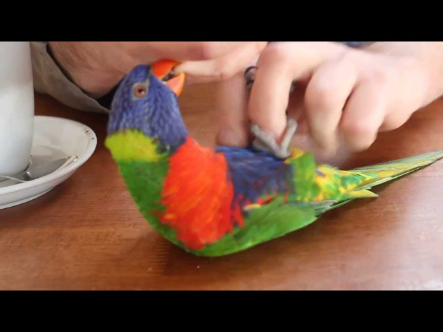 Laughing Lorikeet