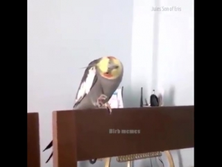 Попугай-джедай
