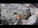 Лемминги (сеноставки) ущелья Актру