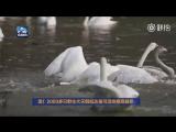 «Лебединое озеро» в уезде Пинлу провинции Шаньси